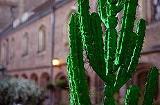 Plastic cactus in Cloister Court - Queens' May Ball 2003