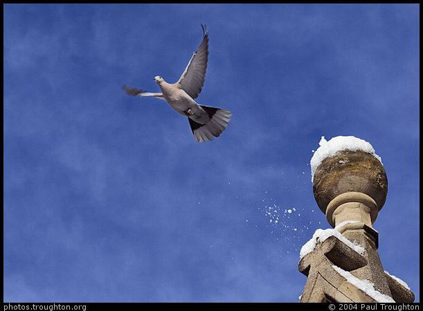 A dove with an excellent sense of timing - Gonville and Caius College - Cambridge in the snow, January 2004